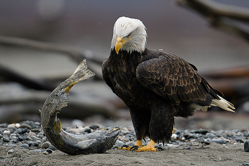 Bald Eagle and Salmon