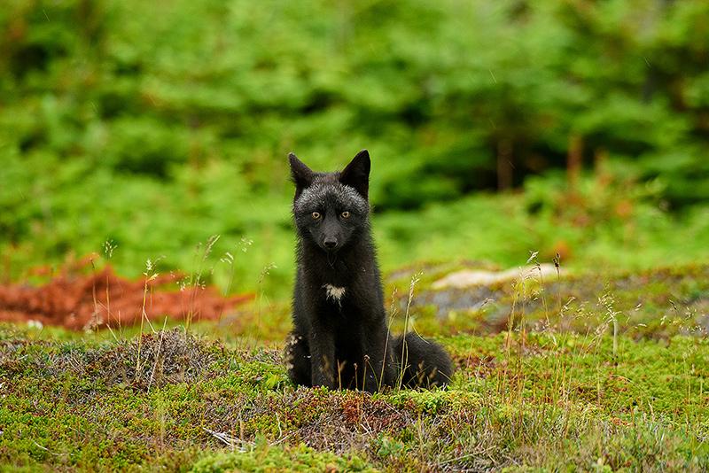 Red Fox (Cross morph)